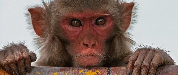 Banánmaffia - Szervezett bűnözés majom módra