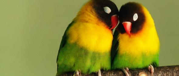 Szaguk alapján választják ki a madarak párjukat