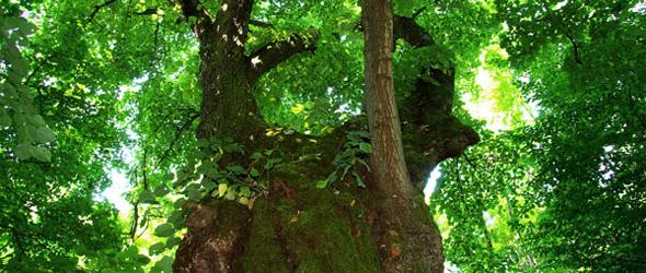 Az Év Fája - felsőmocsoládi öreg hárs