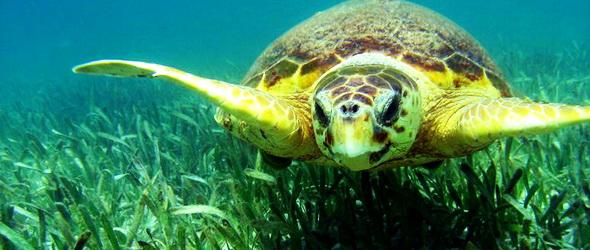 A tengeri füvek felzabálják a szén-dioxidot