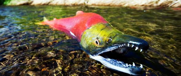 Harapnak a halak - Agresszívabbak a lazacok egyes algáktól