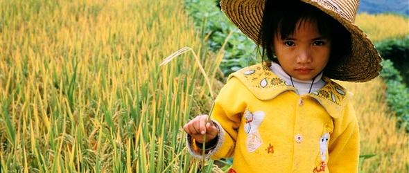 Greenpeace: génmódosított rizzsel etettek gyerekeket