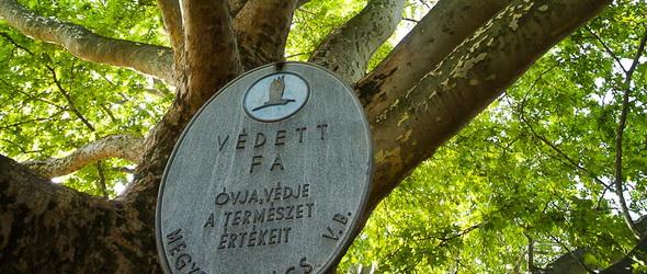 Az egri keleti platánfa lett az Év Fája