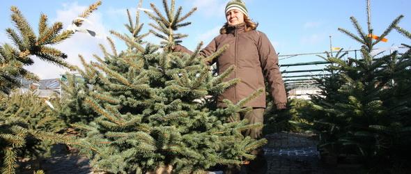 Földlabdás fenyő – Hogyan éli túl az élő fa a karácsonyt?