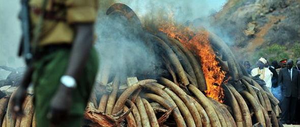 Megsemmisítik minden idők második legnagyobb elefántcsont-készletét