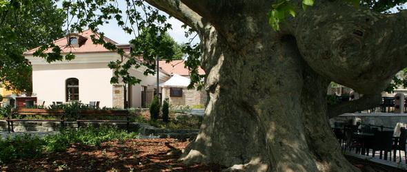 Egy igazi tatai platán tata lehet az európai Év fája! – ha szavazol rá